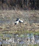 Одичалые птицы поя Стоковая Фотография RF