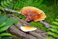 Одичалые растущие грибы на упаденном журнале Стоковое Изображение