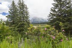 Одичалые розы и скалистые горы - Banff NP, Канада Стоковое Фото