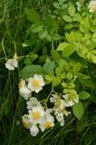 Одичалые розы растя в траве Стоковые Фото