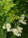 Одичалые розы растя в траве 2 Стоковая Фотография RF