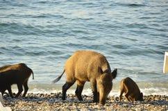 Одичалые свиньи в Menderes Deltası Milli Parkı Турции Стоковая Фотография