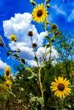 Одичалые солнцецветы в Оклахоме Стоковое Изображение