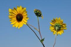 Одичалые солнцецветы равнин Стоковая Фотография