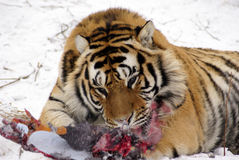 Одичалые тигры подают на сибирском тигре Стоковое Изображение