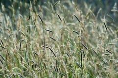 Одичалые травы в свете солнца лета Стоковые Изображения RF