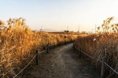 Одичалые тростники в парке haneul стоковые фотографии rf