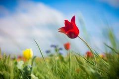 Одичалые тюльпаны Shrenka Стоковое фото RF