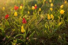 Одичалые тюльпаны Shrenka Стоковая Фотография