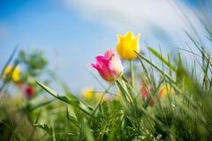 Одичалые тюльпаны Shrenka Стоковая Фотография RF