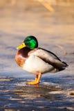 Одичалые утки кряквы сидя в льде озера. Стоковые Изображения RF