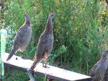 Одичалые фазаны и куропатки видеоматериал