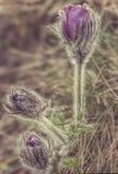 Одичалые фиолетовые цветки pasque на горе стоковое фото rf