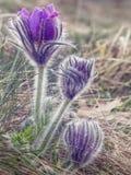Одичалые фиолетовые цветки pasque на горе стоковые фото