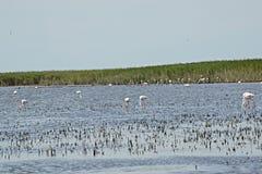 Одичалые фламинго в Camargue Стоковая Фотография