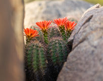 Одичалые цветки кактуса цветеня весны пустыни Стоковое фото RF