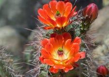 Одичалые цветки кактуса цветеня весны пустыни Стоковые Изображения RF
