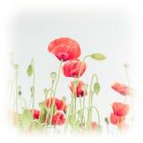 Одичалые цветки мака на луге лета вектор детального чертежа предпосылки флористический Стоковая Фотография