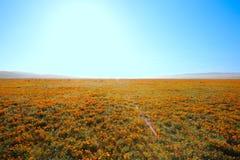 Одичалые цветки мака стоковое изображение