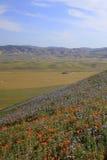 Одичалые цветки мака стоковое изображение rf