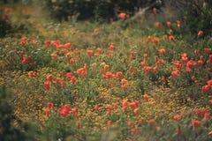Одичалые цветки мака стоковое фото