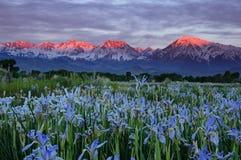 Одичалые цветки радужки с горами восхода солнца Стоковые Фото