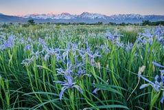 Одичалые цветки радужки с горами Стоковые Изображения