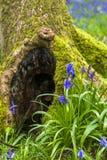Одичалые цветки bluebell Стоковое Изображение RF