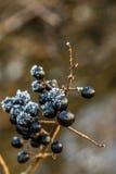 Одичалые черные ягоды в зиме Стоковое Изображение