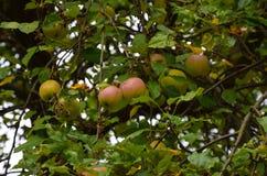 Одичалые яблоки Стоковое Изображение RF
