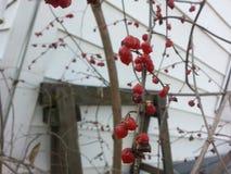 Одичалые ягоды природы Стоковое фото RF