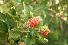 Одичалые ягоды Стоковое Изображение RF