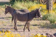 Одичалые Burros весной Стоковые Изображения RF