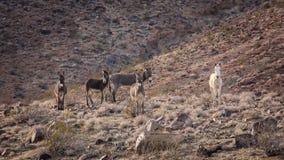 Одичалые Burros на горном склоне в пустыне Мохаве Стоковые Фотографии RF