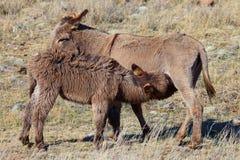 Одичалые burros нянча на матери Стоковые Изображения