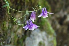 Одичалые columbine цветки Стоковая Фотография RF