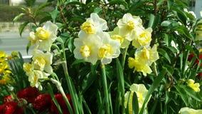Одичалые Daffodil или Narcissus Стоковая Фотография