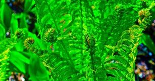 Одичалые Fronds папоротника Стоковые Фотографии RF