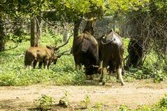 Одичалые oxes Стоковые Фото