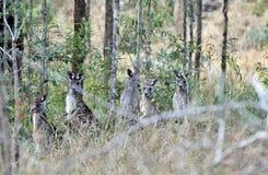 Одичалые wallabies стоя в земле куста Австралии Стоковые Изображения