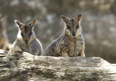Одичалые wallabies утеса mareeba, река mitchell, пирамиды из камней, Квинсленд, Стоковая Фотография