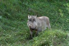 Одичалые warthogs в Африке Стоковая Фотография RF