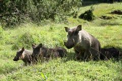 Одичалые warthogs в Африке Стоковое фото RF