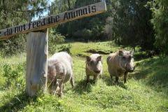 Одичалые warthogs в Африке Стоковые Фотографии RF