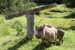 Одичалые warthogs в Африке Стоковые Фото