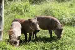 Одичалые warthogs в Африке Стоковое Изображение