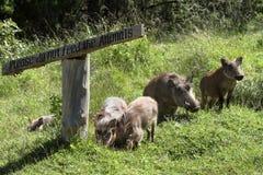 Одичалые warthogs в Африке Стоковые Изображения