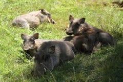 Одичалые warthogs в Африке Стоковое Фото