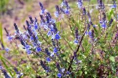 Одичалые wildflowers Стоковая Фотография