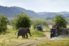 Одичалый азиатский слон в национальном парке Minneriya, Шри-Ланке Стоковое Изображение RF